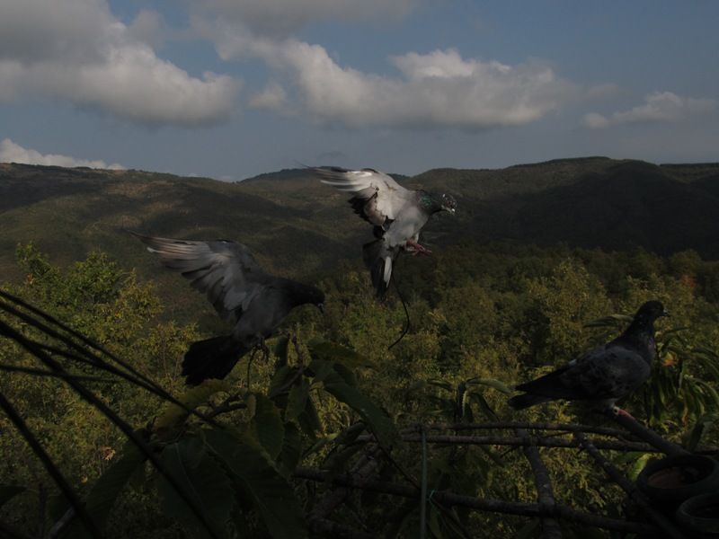 Italian wood pigeon hunting pic - Sporting Pictures - Pigeon Watch