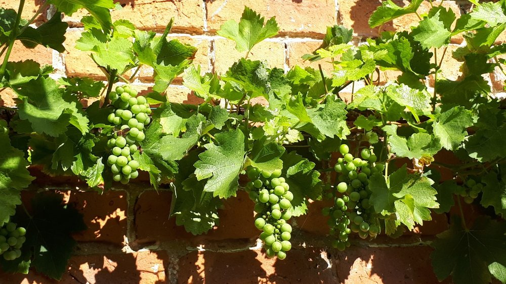 Pictures grapes 1.jpg