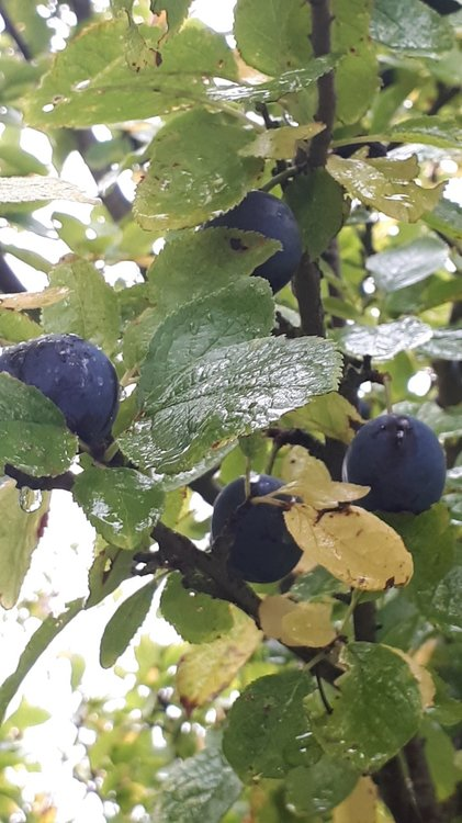 Bullace fruit on tree..jpg