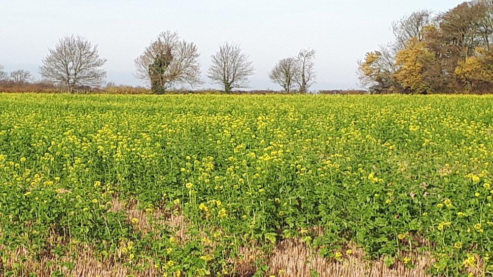 Mustard Nov 19.jpg