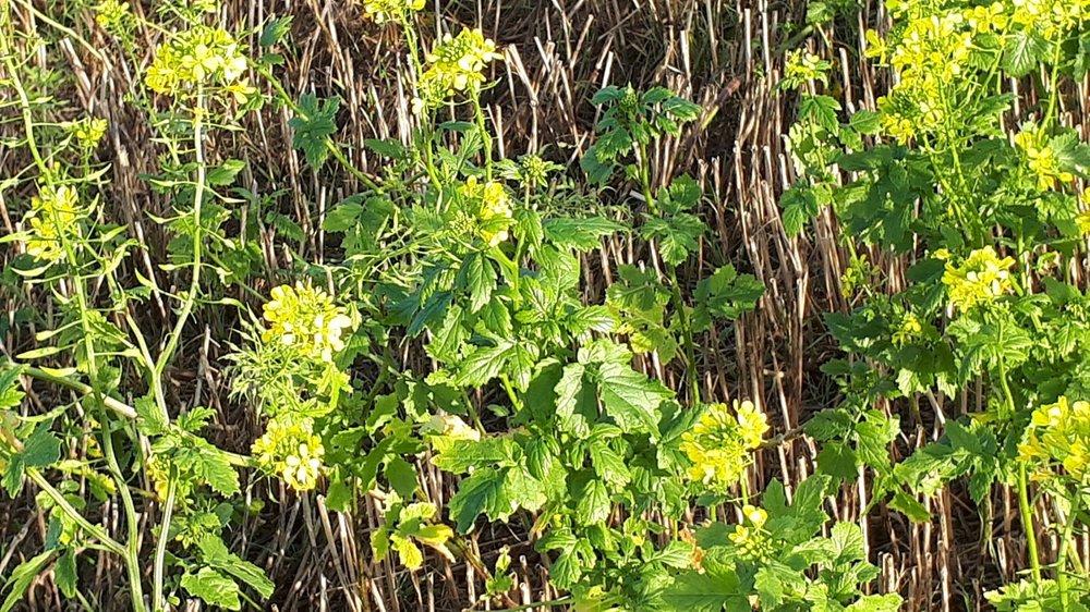 mustard 1 Nov 19.jpg