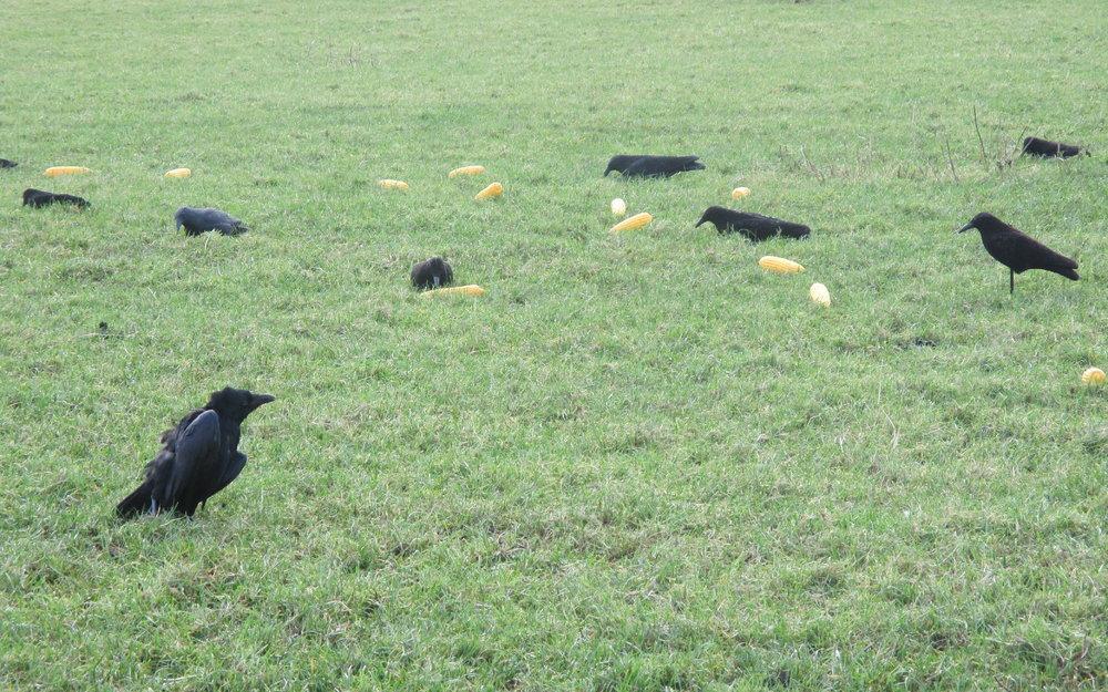 Crows_-_Sweetcorn.jpg
