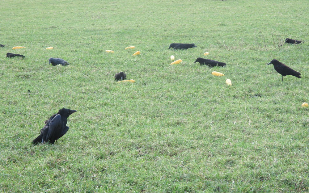 Crows_-_Sweetcorn.jpg
