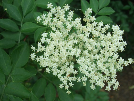 elderflowers.jpeg