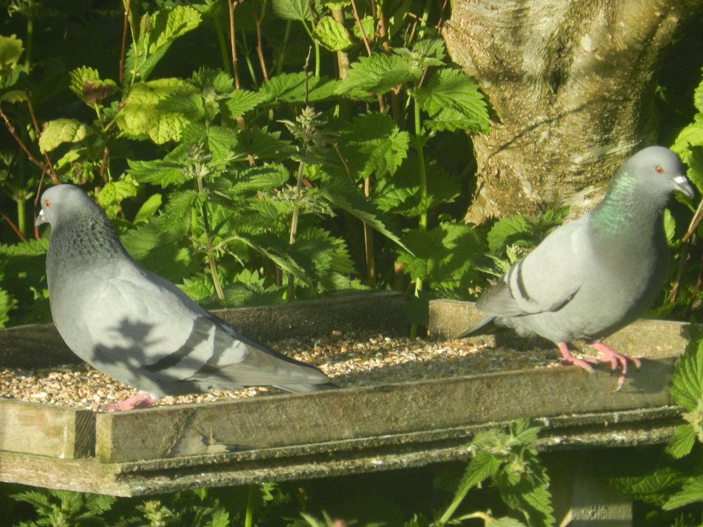 rock_doves.JPG.60f1a7dfaefac38786caebbfd449a76c.JPG