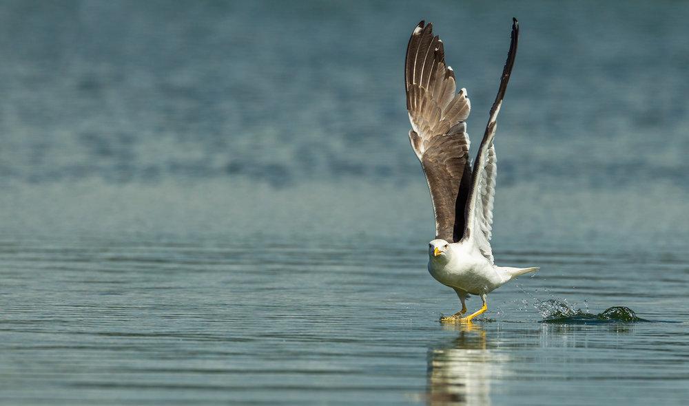 Gull-@-LOff-2.jpg