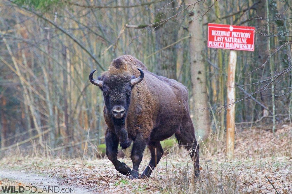 european-bison-bull-bialowieza-forest-poland.jpg.4e45ea642332ece812c443d4dd26d763.jpg