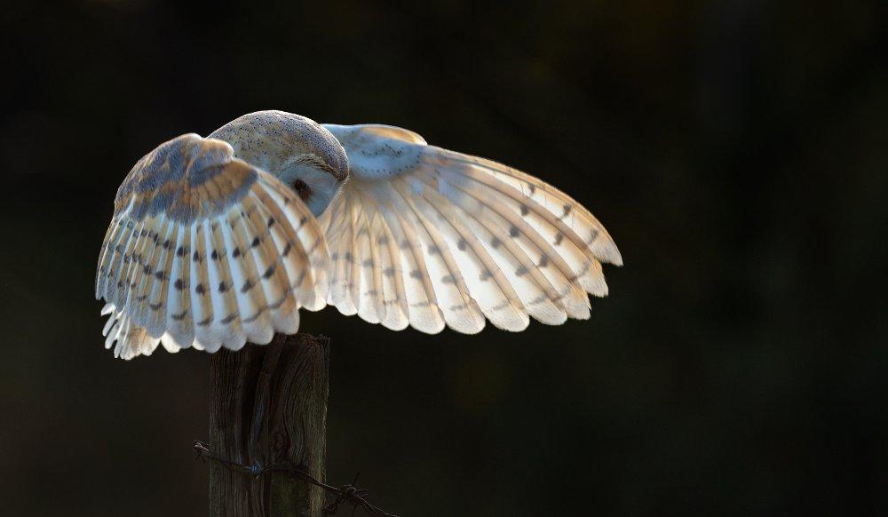 Barn-Owl-landing-LP-1a-crop.jpg