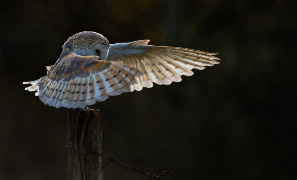 Owl-landing-lp-crop.jpg