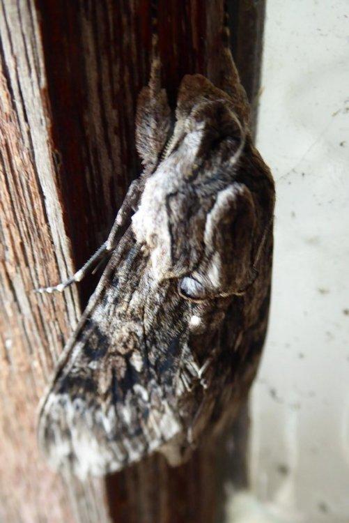 moth 004tn_.JPG