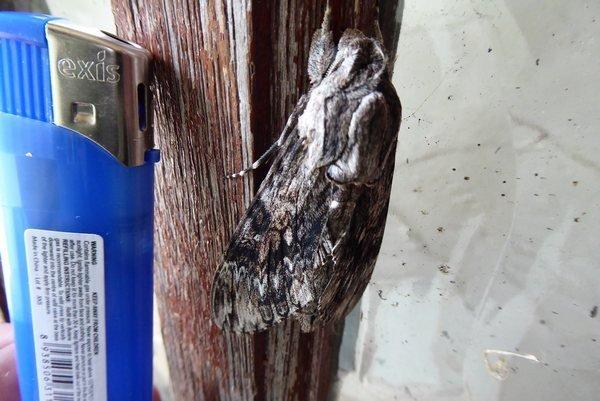 moth 005tn_.JPG