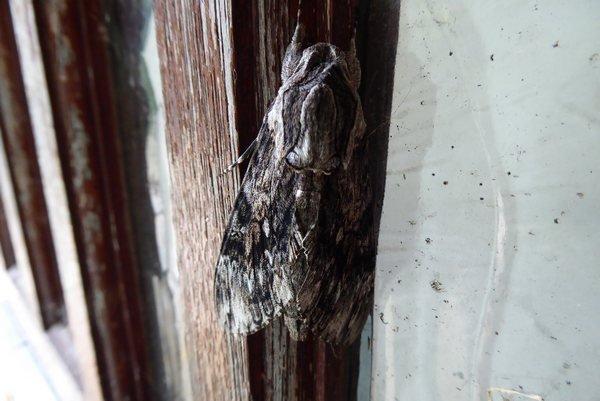 moth 002tn_.JPG
