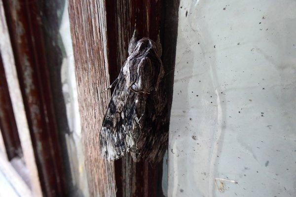 moth 001tn_.JPG