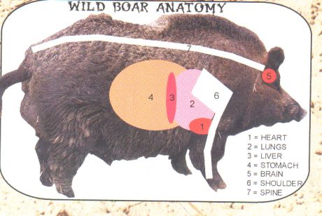 Wild Boar Anatomy - Sporting Pictures - Pigeon Watch Forums