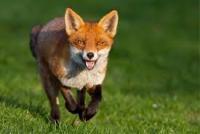 Dog fox - last post by Daieye